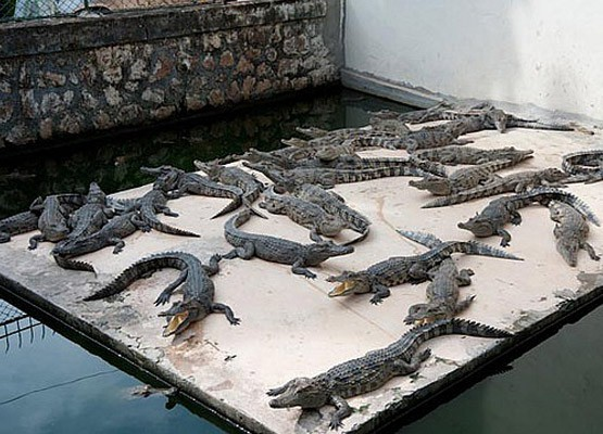 crocodile-farm-cambodia